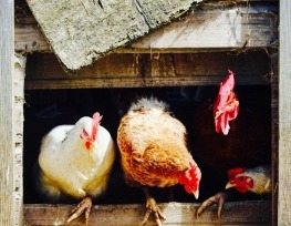 The hens are free!