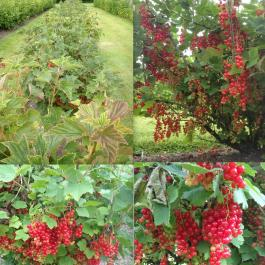 Red Currants, The Soft Fruit Garden - Ballymaloe Cookery School