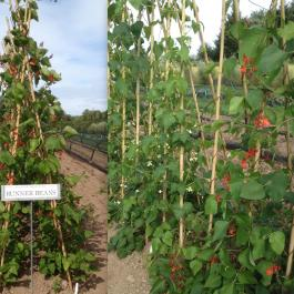 Runner Beans, The Vegetable Patch - Ballymaloe Cookery School