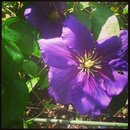 Clematis in purple profusion  - The Ornamental Fruit Garden at Ballymaloe Cookery School
