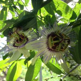 Passionflower, The Glasshouses - Ballymaloe Cookery School