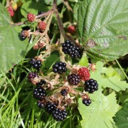 Blackberries, The Soft Fruit Garden - Ballymaloe Cookery School