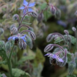 Borage, The Kitchen Potager Garden  - Ballymaloe Cookery School