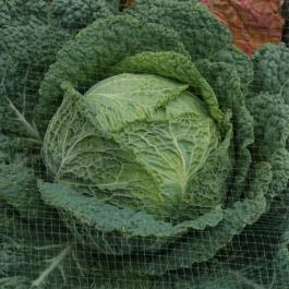 Cabbage, The Vegetable Patch - Ballymaloe Cookery School