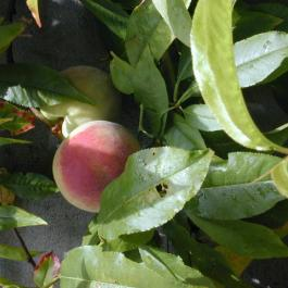 Peaches growing in the Ornamental Fruit Garden at Ballymaloe Cookery School