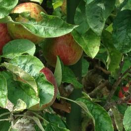 Apples Ready For Picking - Ballymaloe Cookery School