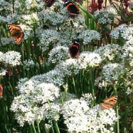 Butterfly Haven On Garlic Chives - Ballymaloe Cookery School