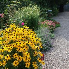 Rudbeckia In The Herbaceous Border - Ballymaloe Cookery School