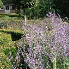 Russian Sage In The Herb Garden - Ballymaloe Cookery School