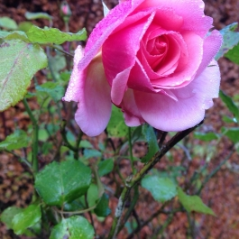 A late-flowering rose - Ballymaloe Cookery School