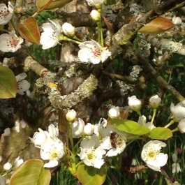 The bees are busy pollinating our fruit trees in the Ornamental Fruit Garden - Ballymaloe Cookery School