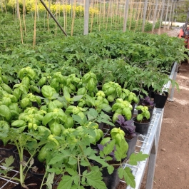 Perfect combination! Tomato & basil plants await planting in the glasshouses - Ballymaloe Cookery School