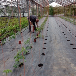 Planting our tomato plants grown from seed. We grow many heritage varieties. We're growing 20 different varieties altogether - Ballymaloe Cookery School