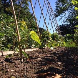Runner beans 'Painted Lady' grow between the rows of Broad Beans in the Kitchen Garden - Ballymaloe Cookery School