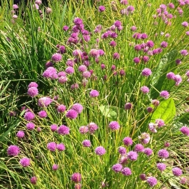 A sea of chives in the Kitchen Garden - Ballymaloe Cookery School