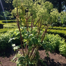 Angelica archangelica in the Herb Garden - Ballymaloe Cookery School