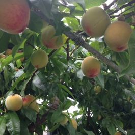 Peaches ripen in the glasshouse - Ballymaloe Cookery School