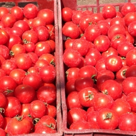 Our new season tomatoes picked this week - Ballymaloe Cookery School