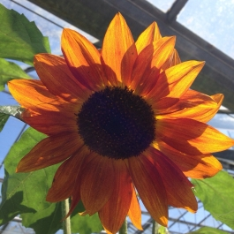 A ray of sunshine in the glasshouse - Ballymaloe Cookery School
