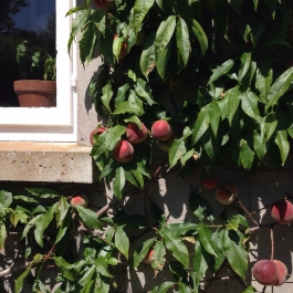Peaches ('Peregrine') ripening on the wall of the Blue Dining Room - Ballymaloe Cookery School