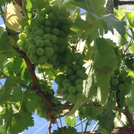 The vines in the glasshouse are laden with fruit, they'll take another few weeks of sunshine to ripen - Ballymaloe Cookery School