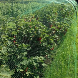 Red currants ready for picking in the Soft Fruit area - Ballymaloe Cookery School