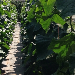 Rows of cucumber plants fill a bay in the glasshouse - Ballymaloe Cookery School