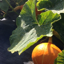 Pumpkins growing through Mypex to protect them in the Vegetable Field - Ballymaloe Cookery School