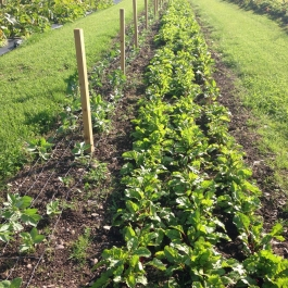 Young Broad Bean and Beetroot plants in the Vegetable Field - Ballymaloe Cookery School