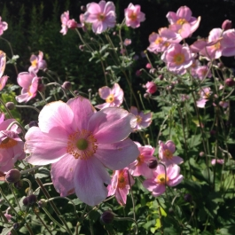 Japanese Anemone add radiant colour to the Herbaceous Borders - Ballymaloe Cookery School
