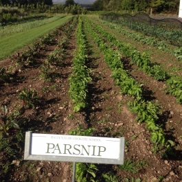 Our winter crop of parsnips and beetroot in the Vegetable Field - Ballymaloe Cookery School