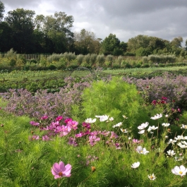Cosmos and Borage edge the borders of the Vegetable Field - Ballymaloe Cookery School