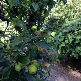 Apples ripen for harvest time in the Ornamental Fruit Garden - Ballymaloe Cookery School