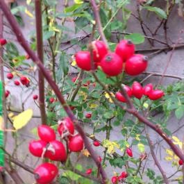 Rose hips (a great source of Vitamin C) in the Ornamental Fruit Garden - Ballymaloe Cookery School