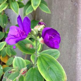 Tibouchina semidecandra in flower, growing against the wall of the Cookery School (native to Brazil) - Ballymaloe Cookery School