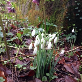 Snowdrops and Hellebores in the Ornamental Fruit Garden - Ballymaloe Cookery School