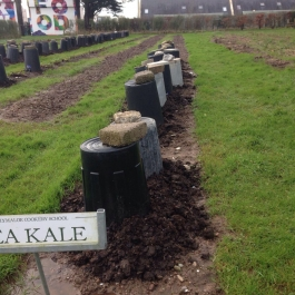 Sea kale under cloches - Ballymaloe Cookery School