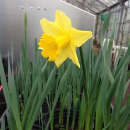 An early daffodil in the glasshouses - Ballymaloe Cookery School