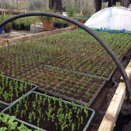 Seedlings in the glasshouses - Ballymaloe Cookery School