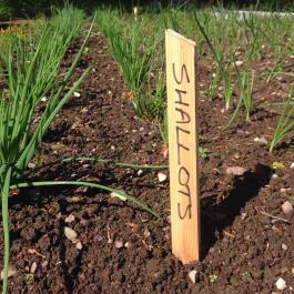 Lots of organic shallots in the Kitchen Garden - Ballymaloe Cookery School