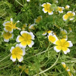 Poached egg plant (limanthes douglasii) the hoverflies and bees love it! - Ballymaloe Cookery School