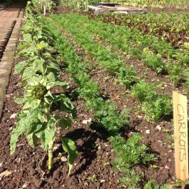 Sunflowers and carrots grow side by side in the Kitchen Garden - Ballymaloe Cookery School