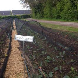 Red cabbage plants protected from the pigeons - Ballymaloe Cookery School