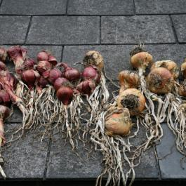 Onions, The Kitchen Potager - Ballymaloe Cookery School