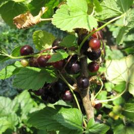 Blackcurrants, The Soft Fruit Garden - Ballymaloe Cookery School