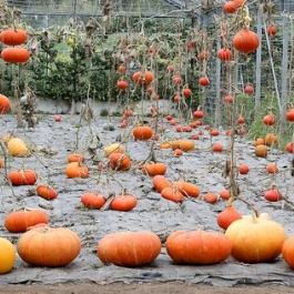 Pumpkin Harvest in the Glasshouse  at Ballymaloe Cookery School