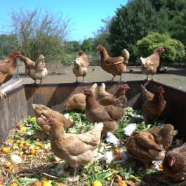 Hens - The Farm Walk - Ballymaloe Cookery School