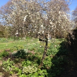 Weeping Pear Tree- Herbaceous Border