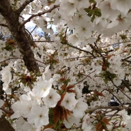 Cherry Blossom in the car park