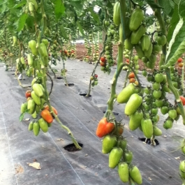 Plum tomatoes ripening in the glasshouse.